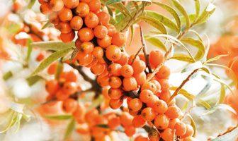 Колдовская ягода